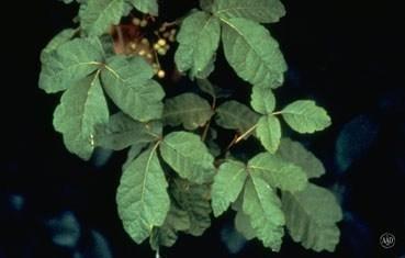 poison-oak-plant_tips.jpg
